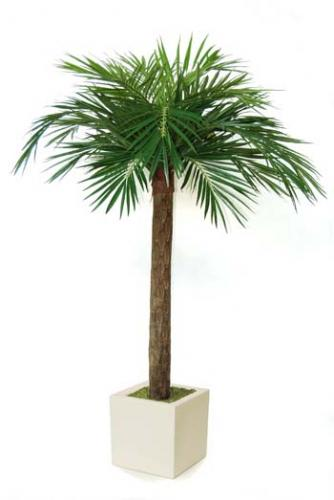 Majesty_Palm_240_cm_Green_cubo