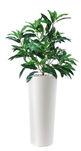 Mango Bush 130 cm Green