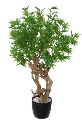 Maple Japanese Robustina 120 cm Green