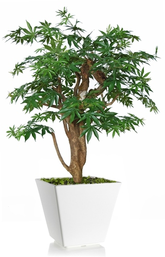 Maple Robustina 100 cm Green