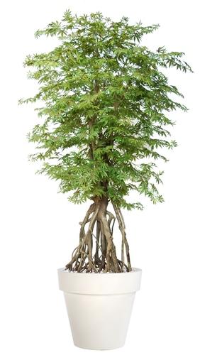 Maple Root 260 cm Multicolor