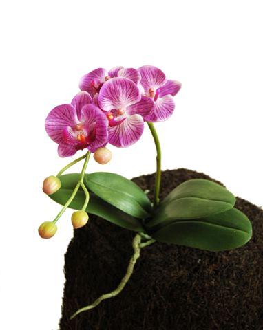 O_Phal_Wild_Plant_45_cm_Lilac_5333LIL