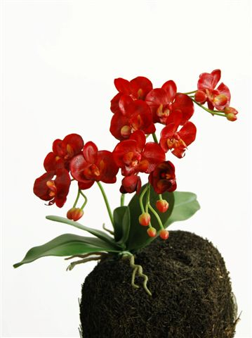 O_Phal_Wild_Plant_60_cm_Red_5334RED