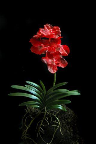 O_Vanda_Plant__60_cm_5340RED