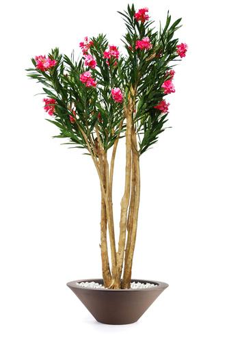 Oleander Florida 240 cm Pink