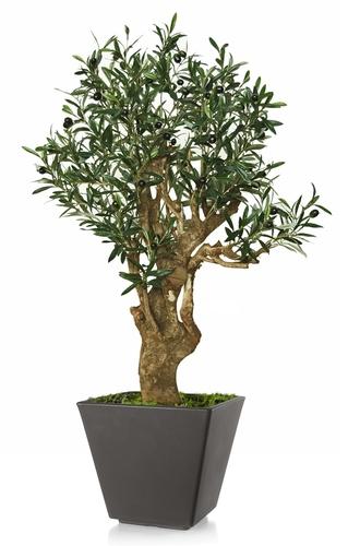 Olive Robustina 100 cm Green