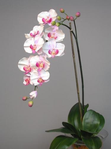 Phal_Formosa_Plant_140_cm_Lilac_4163LIL