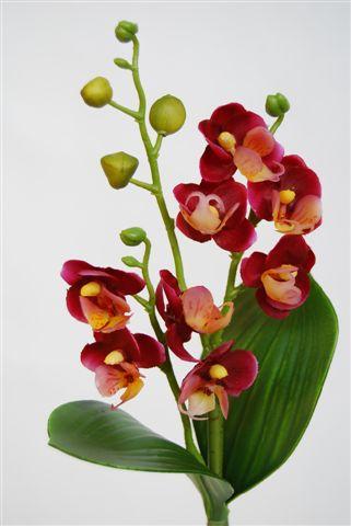 Phalaenopsis_Mini_Felicity_Plant_25_cm_Pur_Crm_5013PCR[1]