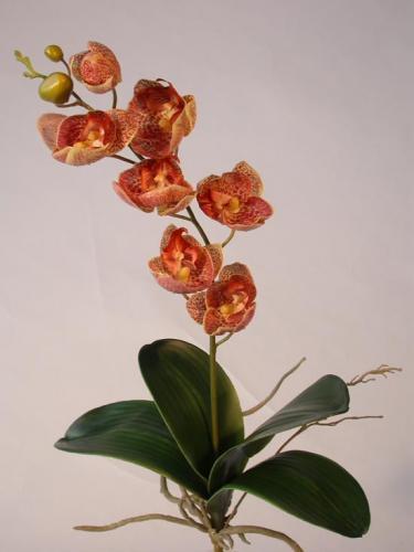 Phalaenopsis_Preziosa_Plant_60_cm_Leopard_4333LEO