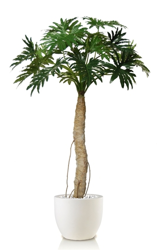 Philodendron Selloum  200 cm Green