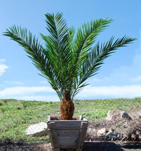 Phoenix Palm Head 200 cm Green