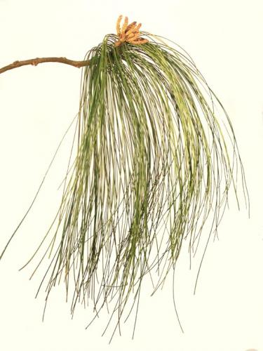 Pine_Mexican_Branch_65_cm_Green_4385GRN