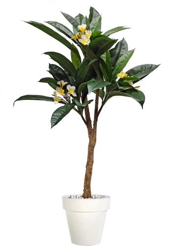 Plumeria Florida Plant 150 cm Green Cream