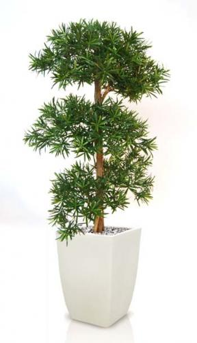 Podocarpus_Multistep_150_cm_Green