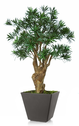 Podocarpus Robustina 100 cm Green