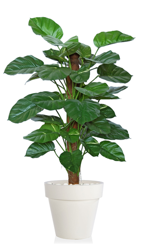 Pothos Golden Plant  140 cm Green