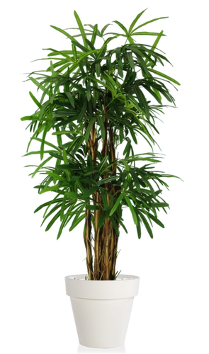Raphis Palm 150 cm Green