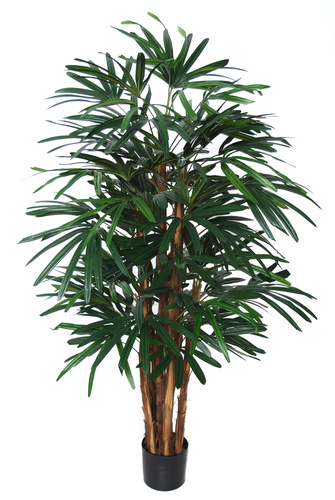 Raphis Palm w pot 150 cm Green