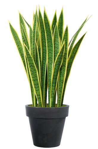 Sanseveria Trifasciata 95 cm Green Yellow