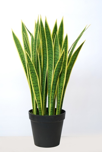 Sanseveria Trifasciata w pot  95 cm Green Yellow