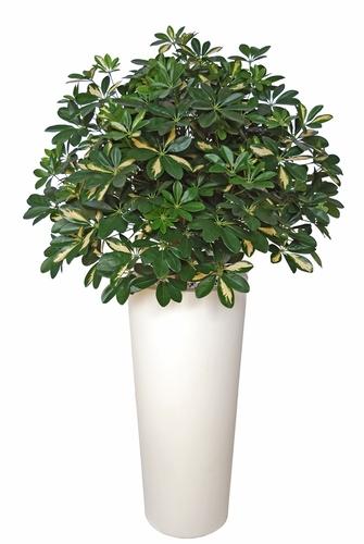 Schefflera Plant  180 cm Green Yellow