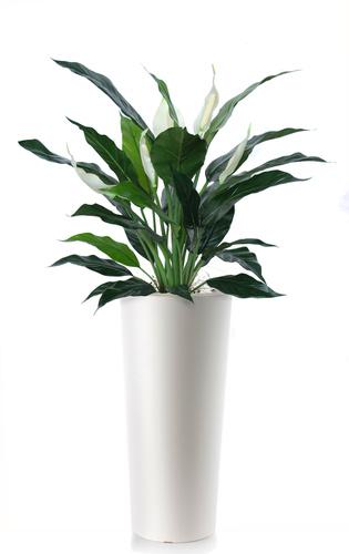 Spathiphyllum 120 cm Grn White