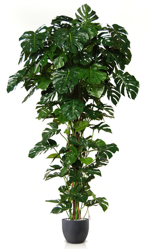 Split Philo Climber w pot 250 cm Green