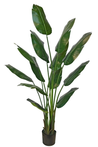 Strelizia Plant Lux w pot 180 cm Green