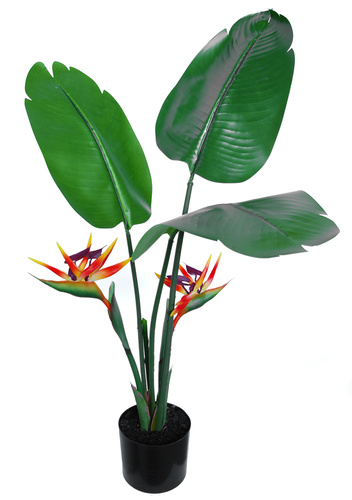 Strelizia Robusta w pot 80 cm Red Orange