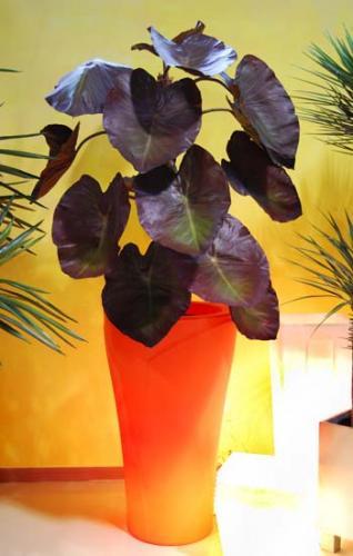 Taro_Plant_200_cm_Burgundy_4386_Tulipano