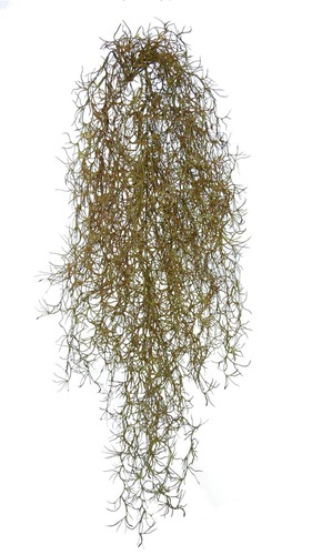 Tillandsia 90 cm Brown