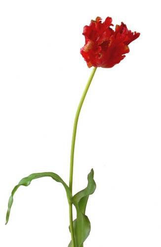 Tulip_Parrot_80_cm_Red_4287RED[1]