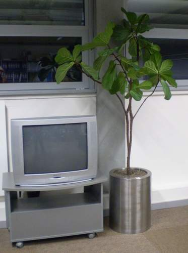 Steel cylinder vase with ficus lyrata
