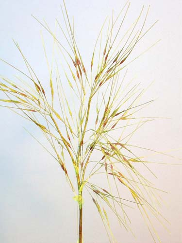 Wheat_Grass_100_cm_Green_Brown_4129GBR