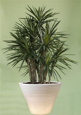 Yucca_Gloriosa_Bush_300_cm_Green_V_4347B03