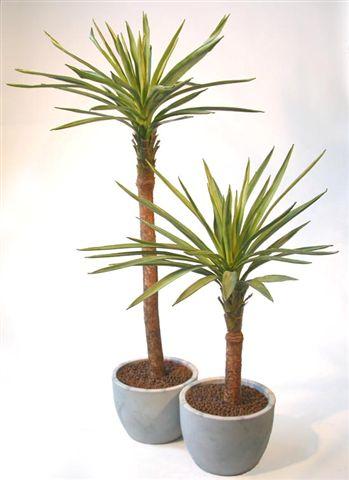 Yucca_Gloriosa_Plant_120-180_cm_Green_V_4347A01-A02