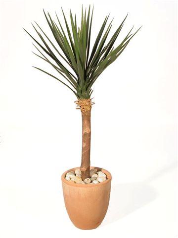 Yucca_Linearis_Almora_Tree_100_cm_Green_V_4231A01
