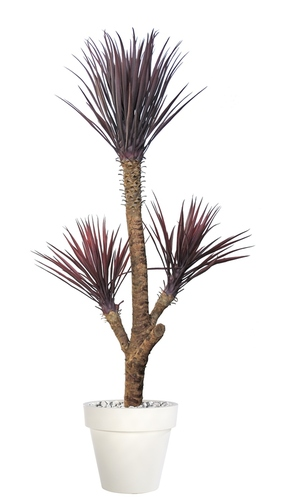 Yucca Linearis Plant 180 cm Burgundy