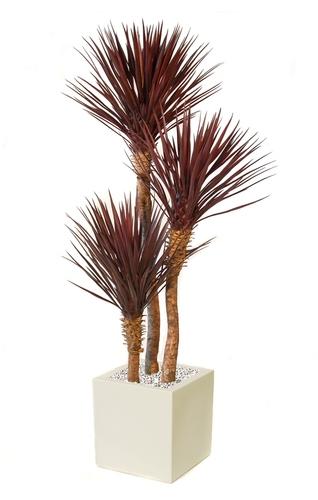 Yucca Linearis Set x 3 200 cm Burgundy