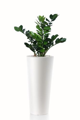 Zamiifolia Bush