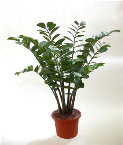 Zamiifolia_Plant_110_cm_Green_4218A04