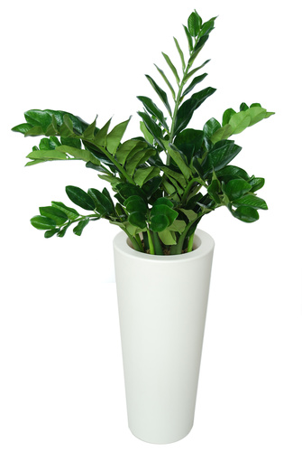 Zamiifolia Robusta 130 cm Green