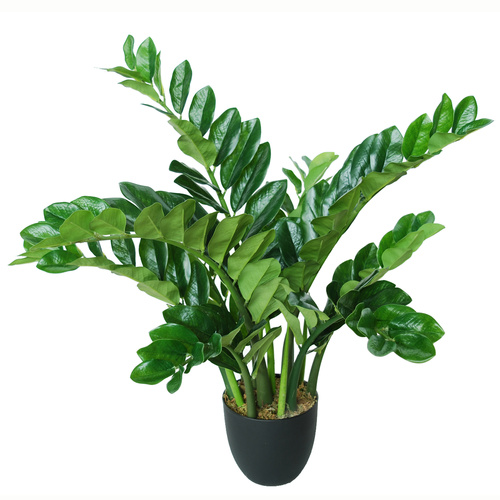 Zamiifolia Robusta w Pot 90 cm Green