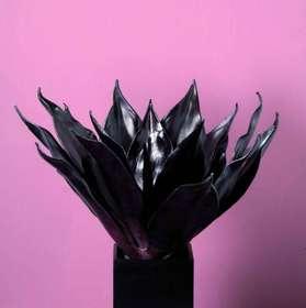 Aloe cosmos bordeaux