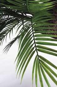 areca palm dettaglio foglie passionecreativa