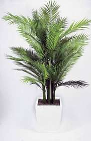 https://www.passionecreativa.it/data/upload/small/areca-palm-pianta-intera-passionecretiva.jpg