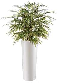 Bamboo Japanese Bush 80 cm Variegated