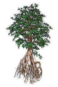 Buxifolia Root Giant 250 cm Green 1056018