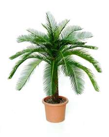 Cycas_Baby_Plant_100_cm verde