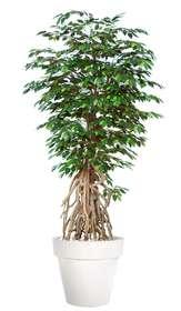 Ficus Exotica Root 220 cm Green V1049046